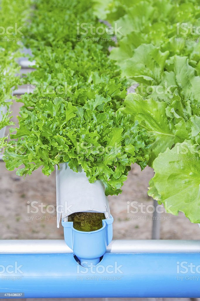 Organic hydroponic vegetable in a farm, agriculture. stock photo
