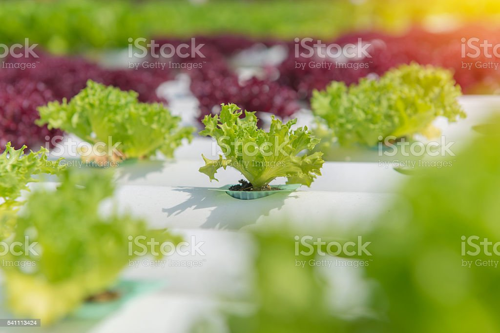 Organic hydroponic vegetable in the cultivation farm stock photo