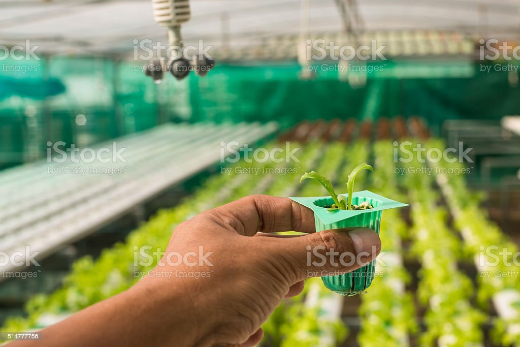 Organic hydroponic vegetable on hand in garden stock photo