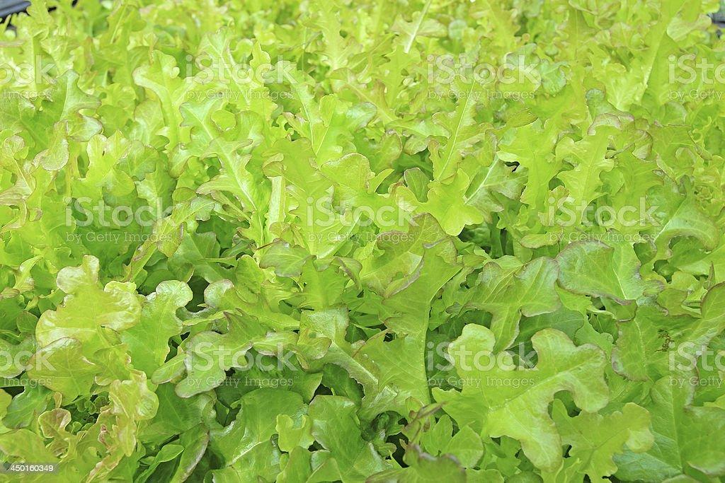 Organic hydroponic vegetable royalty-free stock photo
