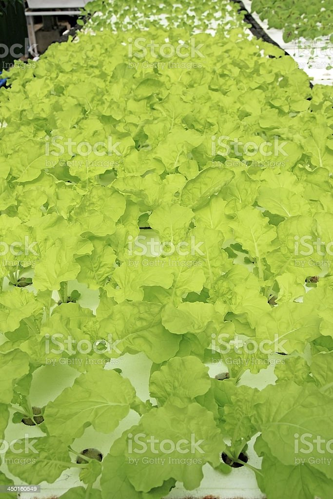 Organic hydroponic vegetable royalty-free stock photo