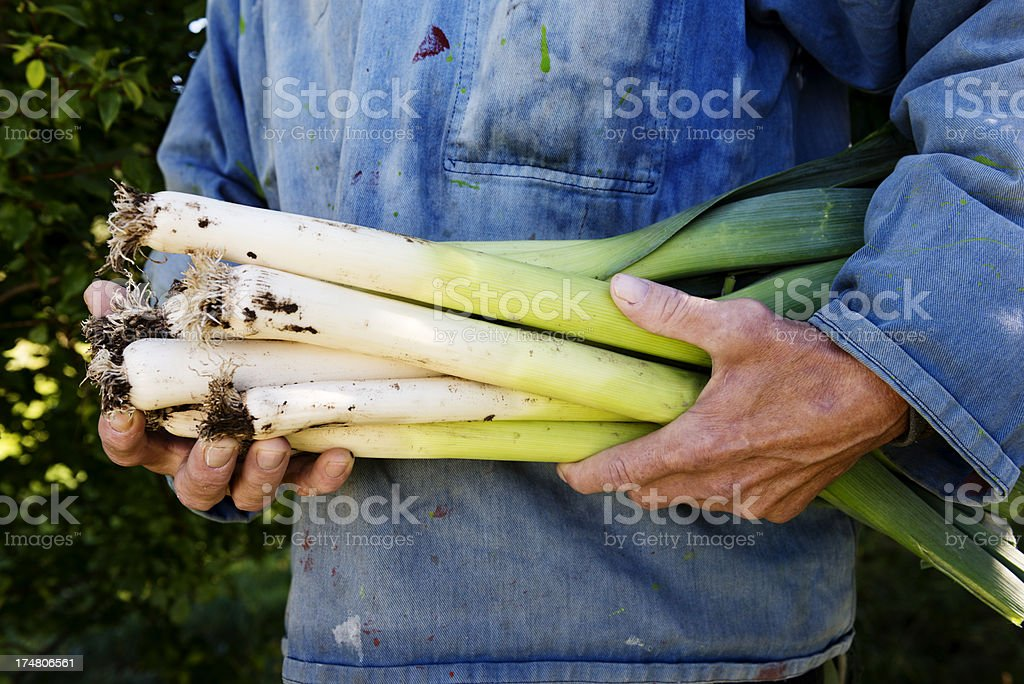 Organic Leek Harvesting royalty-free stock photo