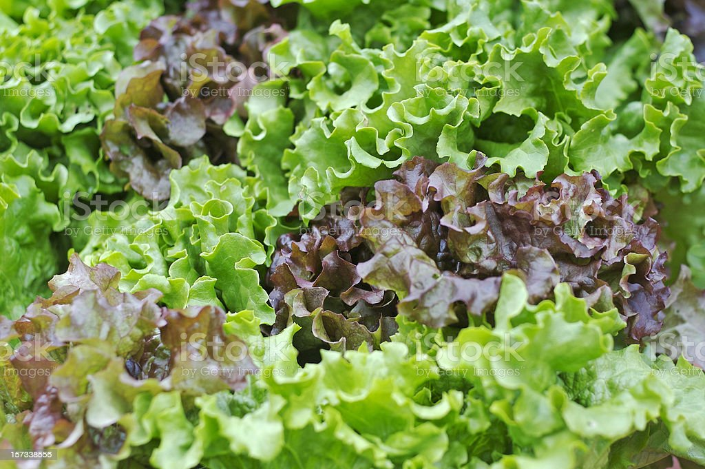 Organic Lettuce at the Farmer's Market royalty-free stock photo
