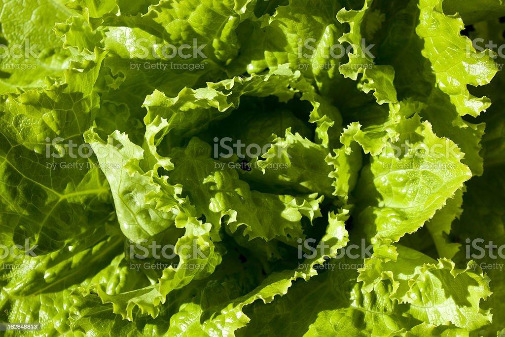 Organic Lettuce closeup. stock photo