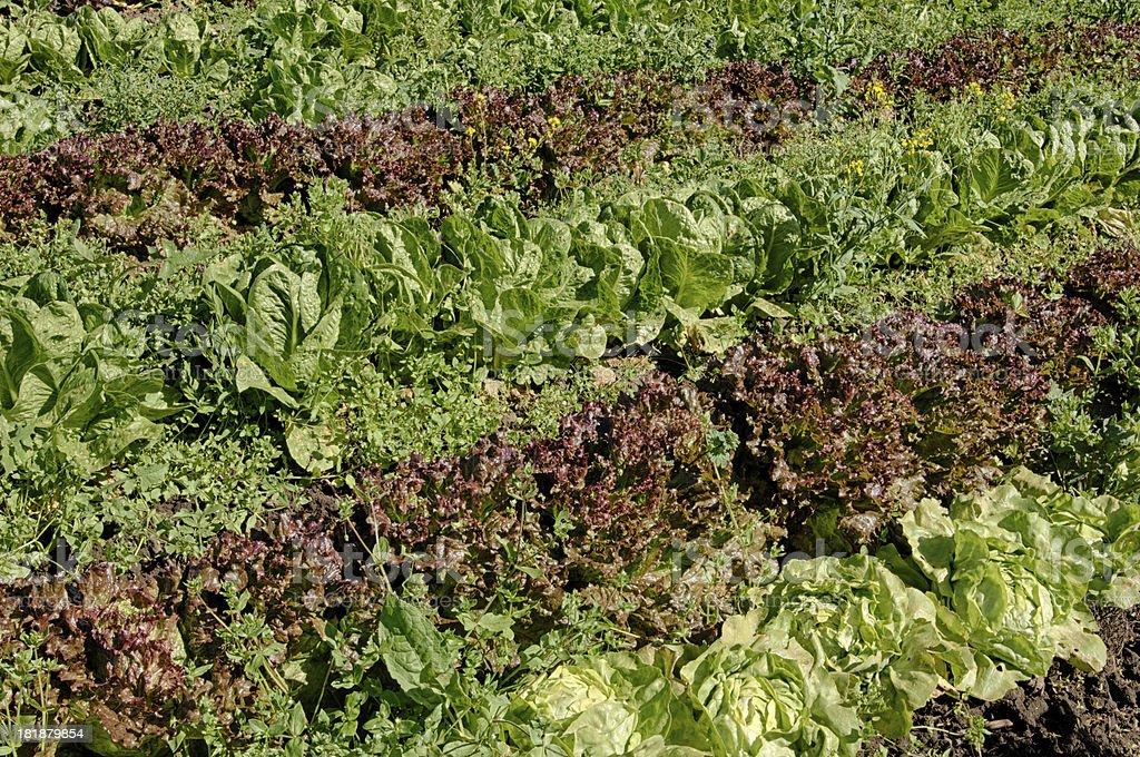 Organic Lettuce Field royalty-free stock photo