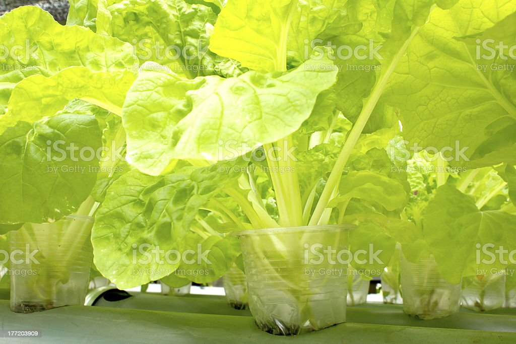 Organic lettuce royalty-free stock photo