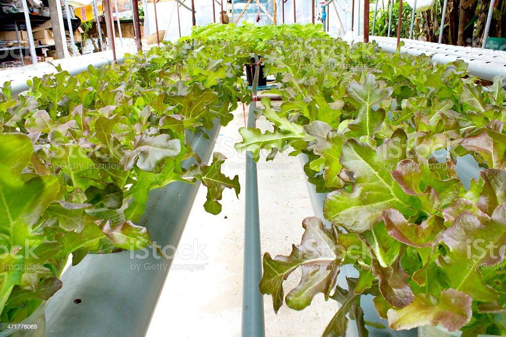 Organic lettuce royalty-free stock photo