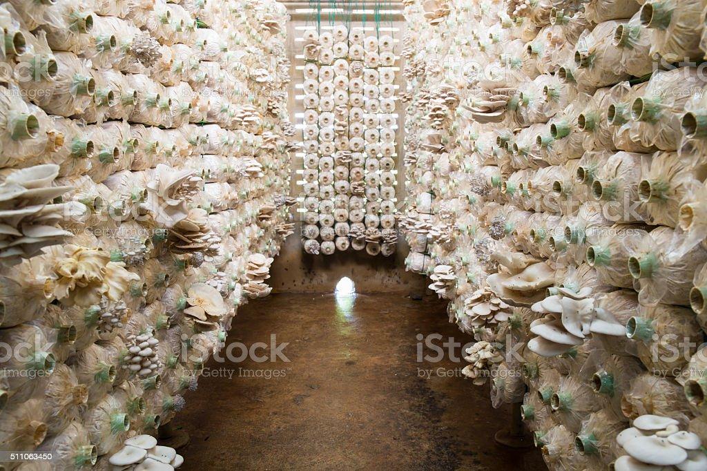 Organic mushroom growing In a farm stock photo