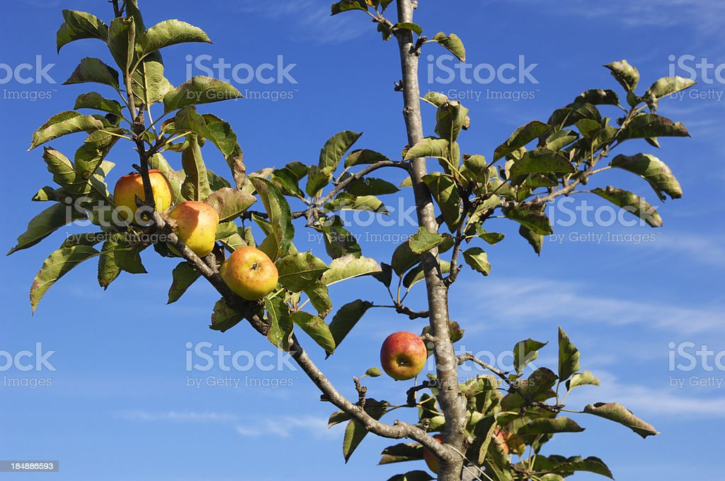 Organic Mutsu Apples Ripening On Tree stock photo