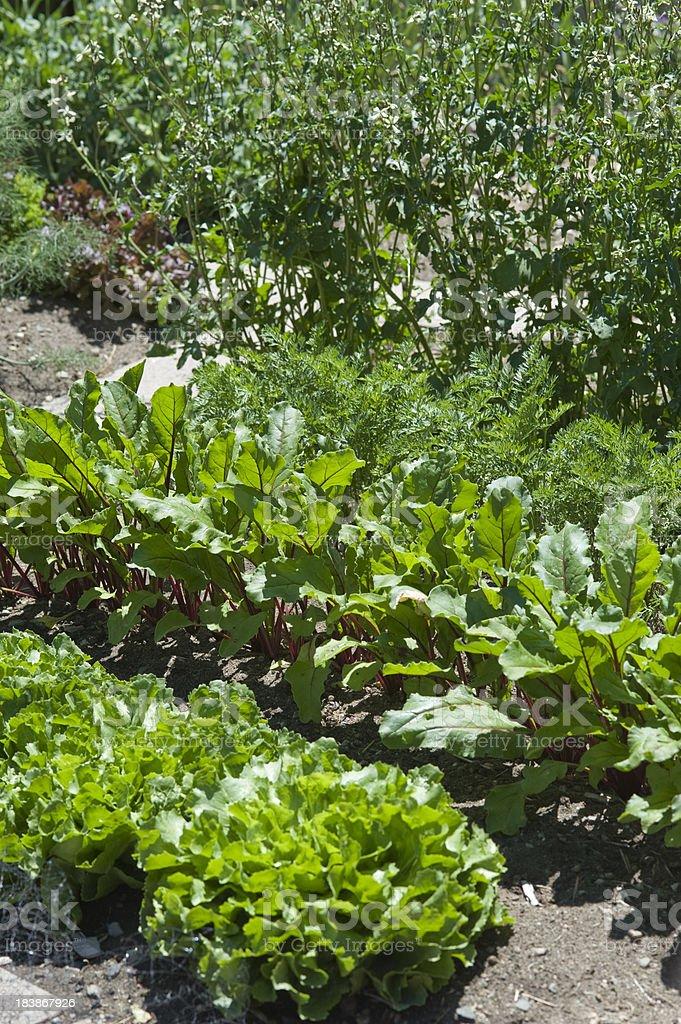 Organic Neighborhood Vegetable Garden royalty-free stock photo