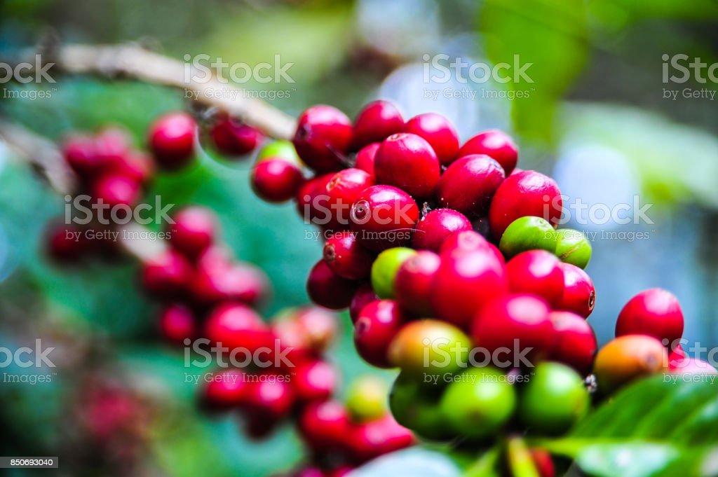 Organic of colorful coffee cherries stock photo