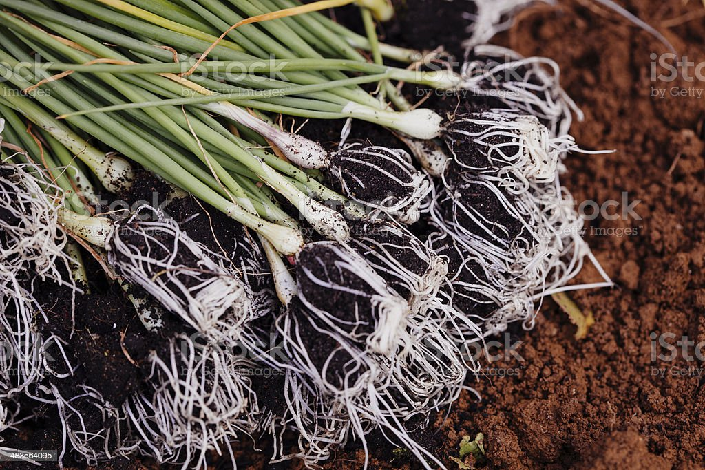 Organic onion seedlings ready to be planted royalty-free stock photo