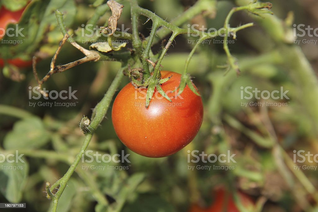 Organic Orange Tomato royalty-free stock photo