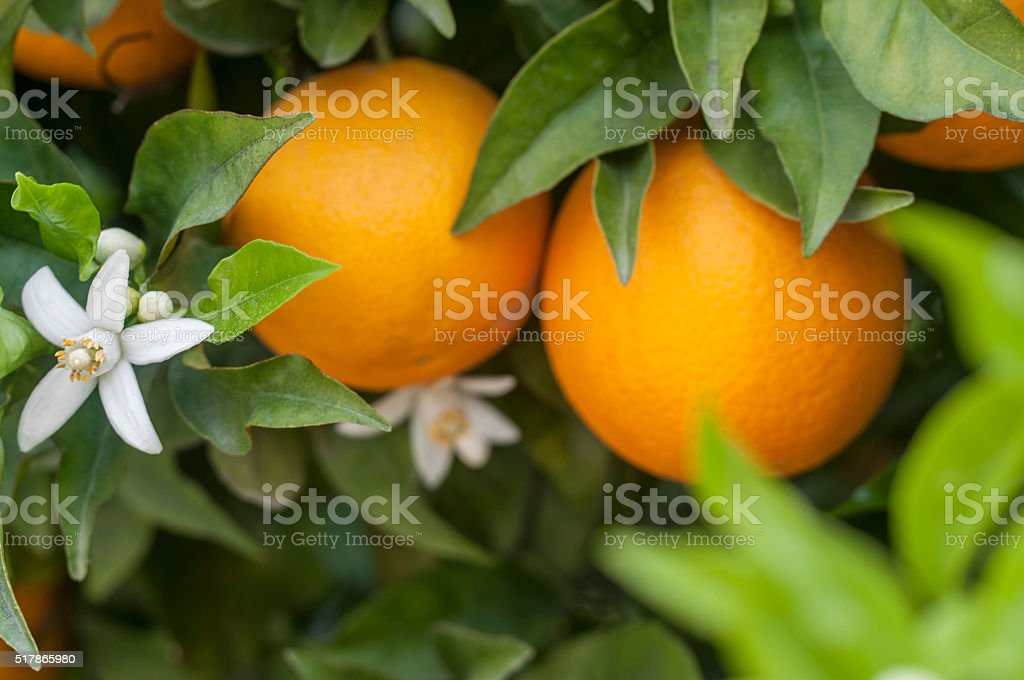 Organic orange trees stock photo