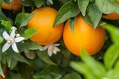 Organic orange trees