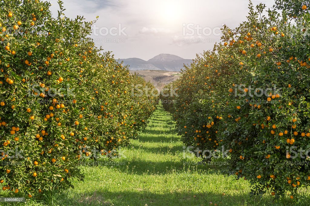 Organic oranges garden on homegrown orange tree stock photo
