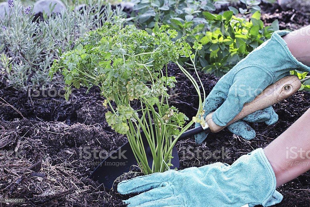 Organic Parsley stock photo