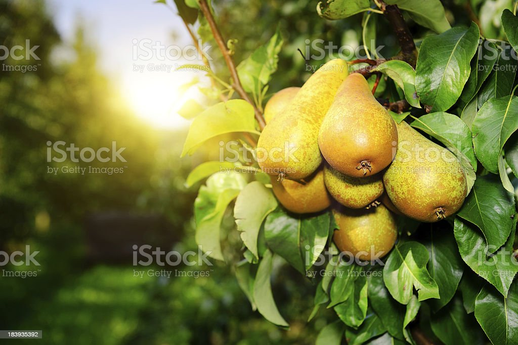 Organic pears on a tree branch in the sun stock photo
