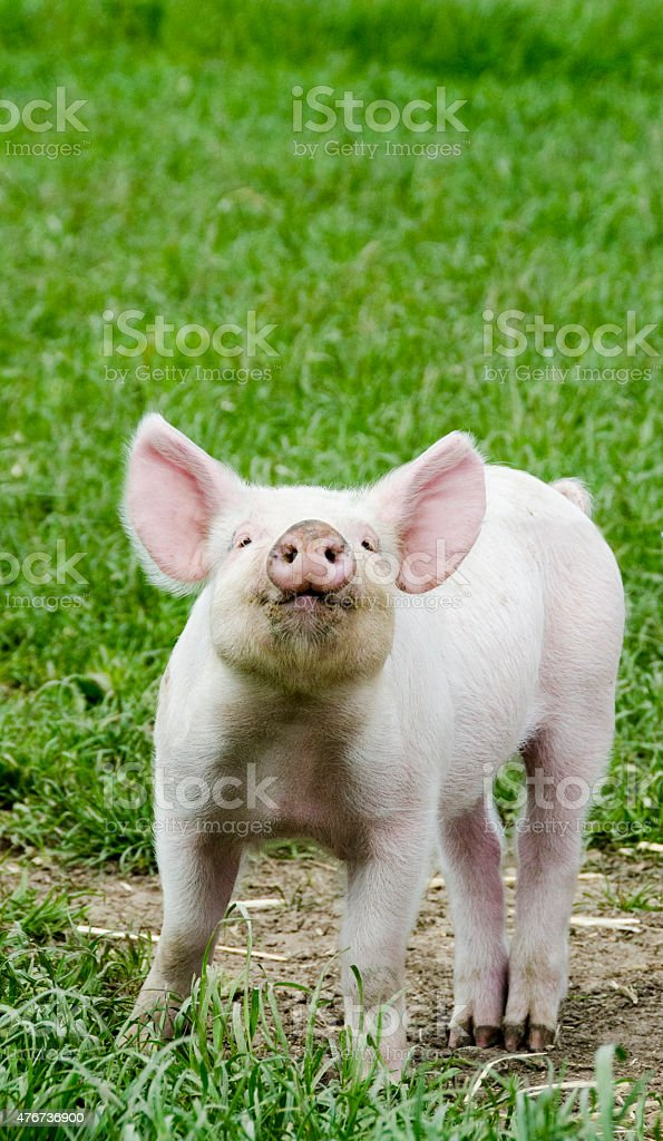 Organic piglet performing in front of the camera stock photo