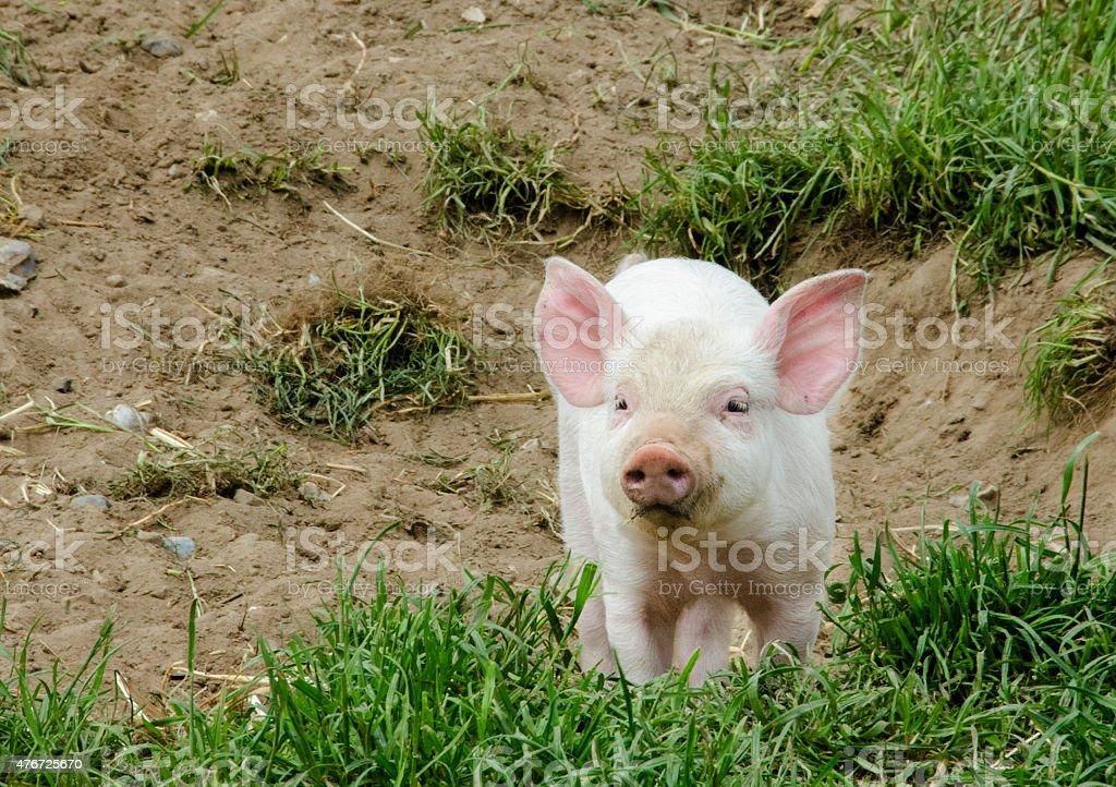 Organic piglet stock photo