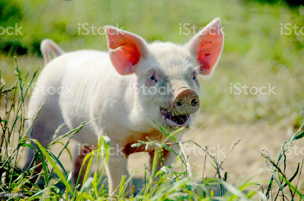 Organic piglet who wants to play stock photo