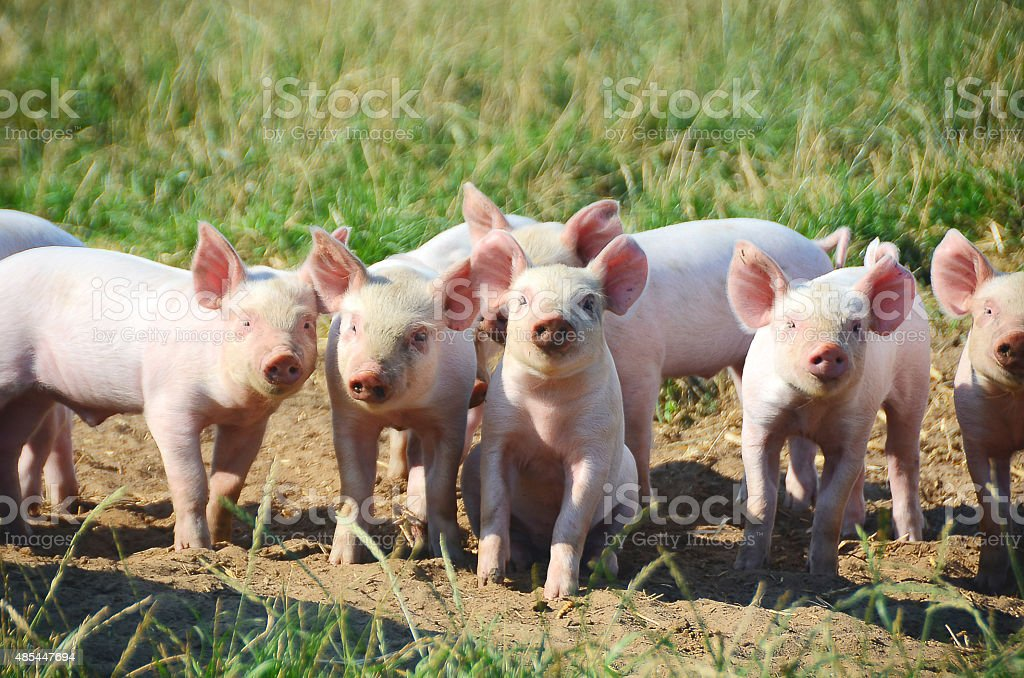 Organic Piglets in a group looking at the photograper stock photo