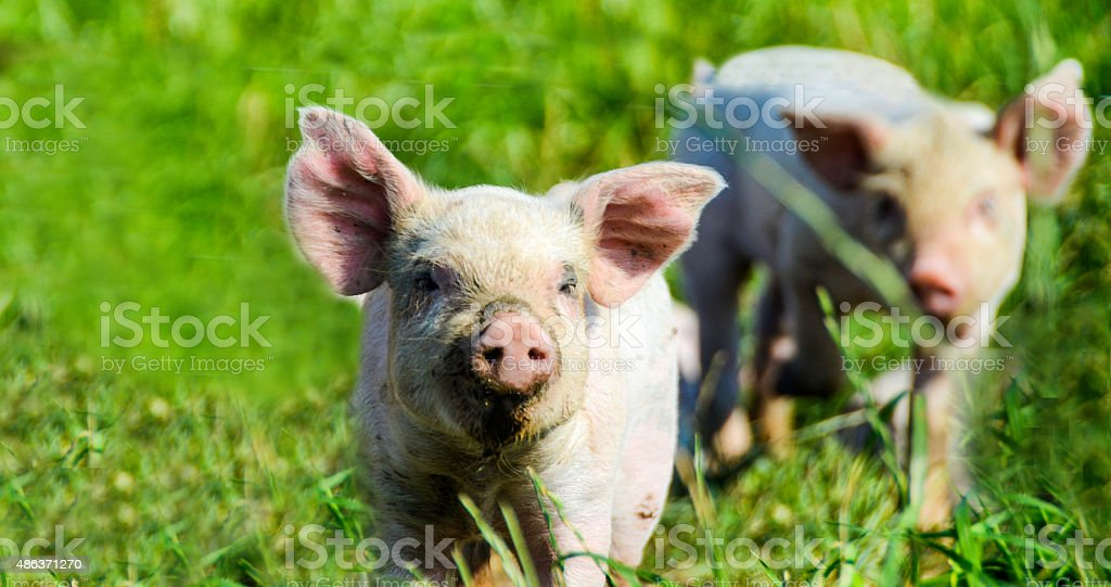 Organic Piglets looking at the photograper stock photo