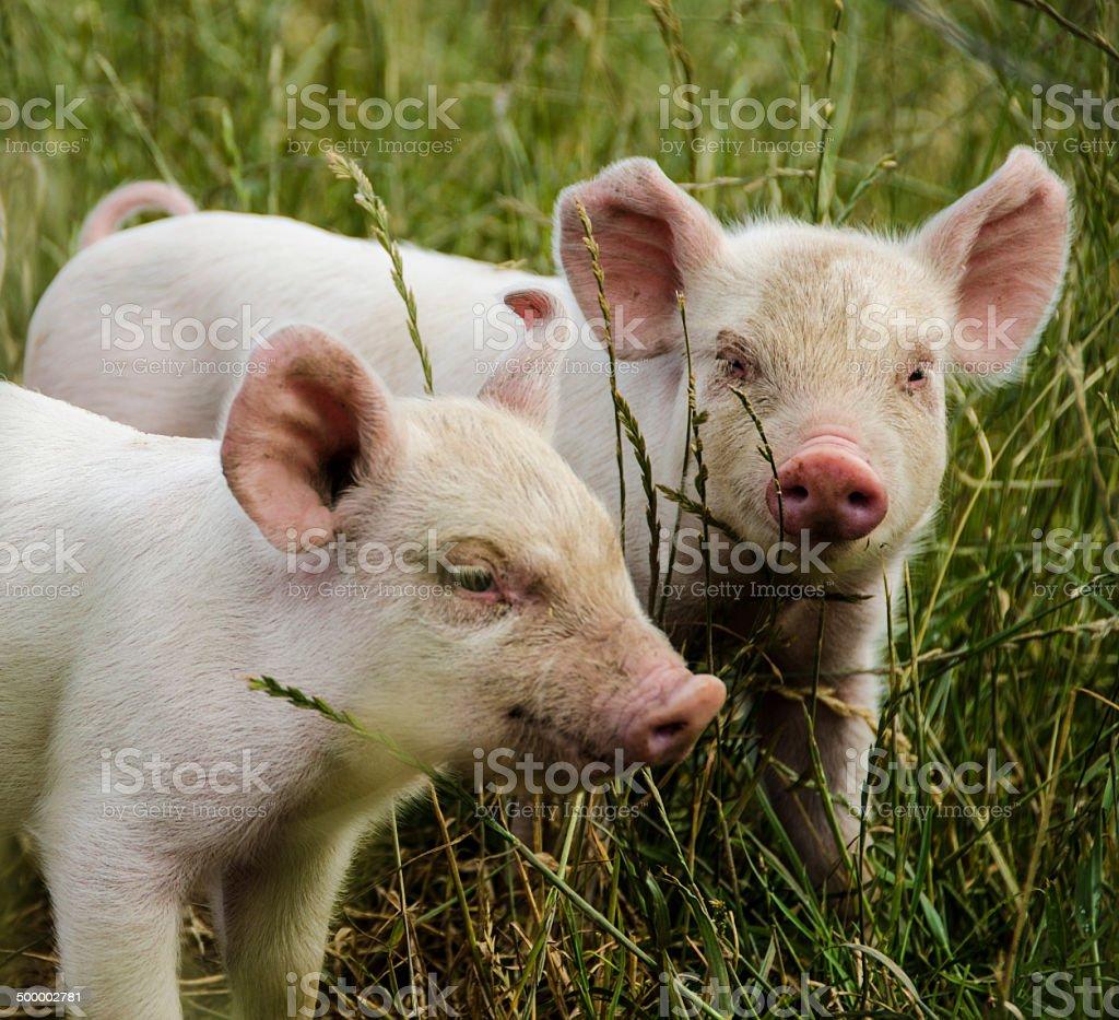 Organic piglets stock photo