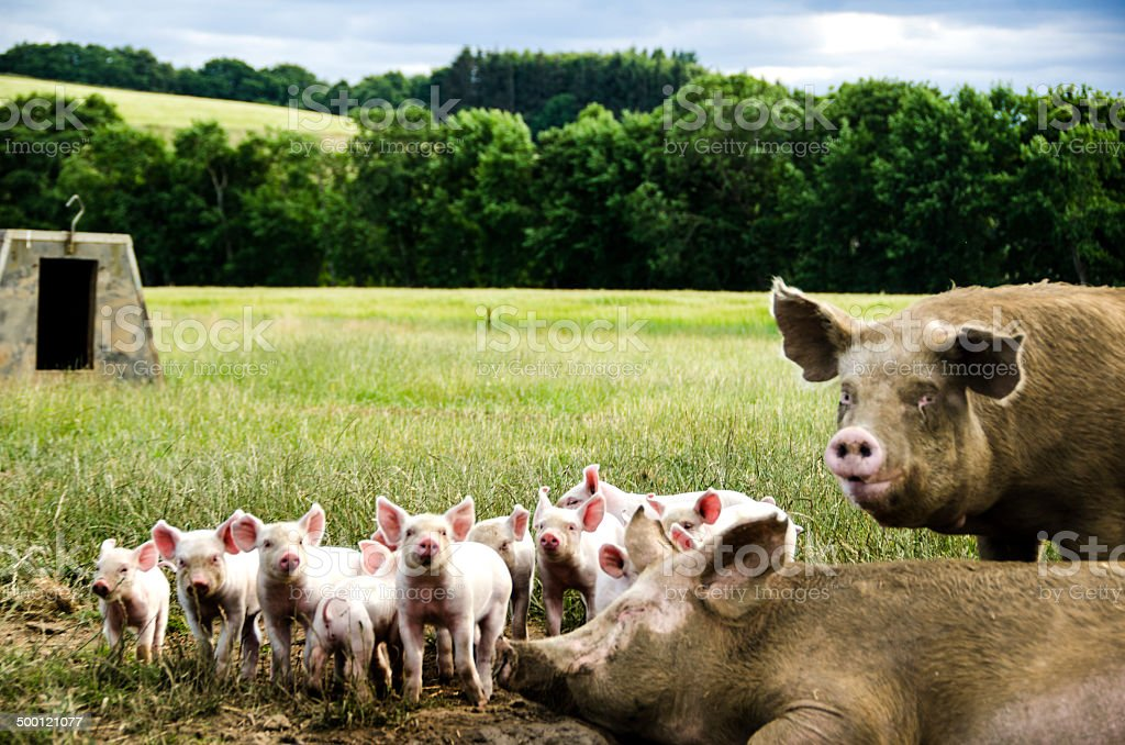 Organic piglets with their mother stock photo