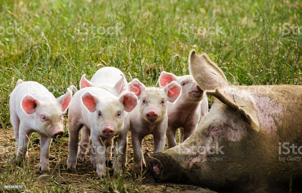 Organic piglets with their sleeping mother stock photo