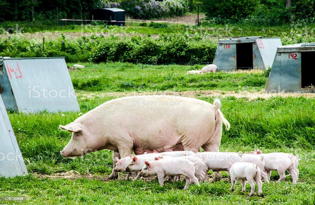 Organic pigs family stock photo
