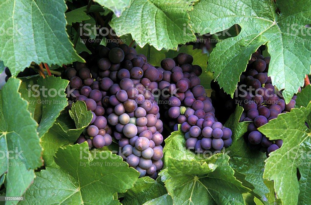 organic pinot gris grapes royalty-free stock photo