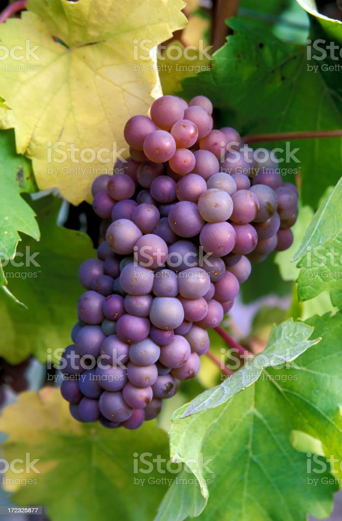 organic pinot gris grapes stock photo