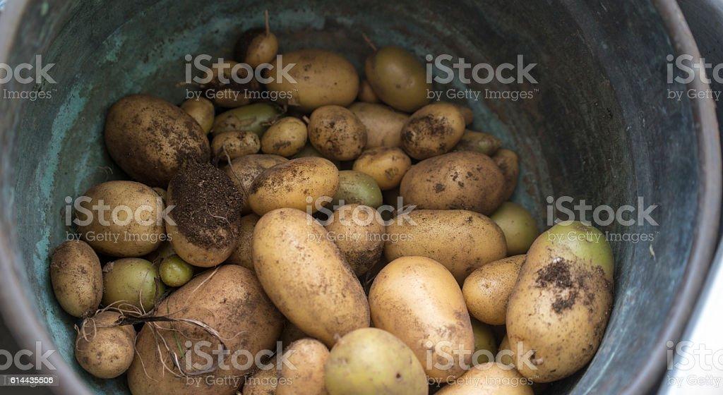 Organic potatoes, freshly dug stock photo