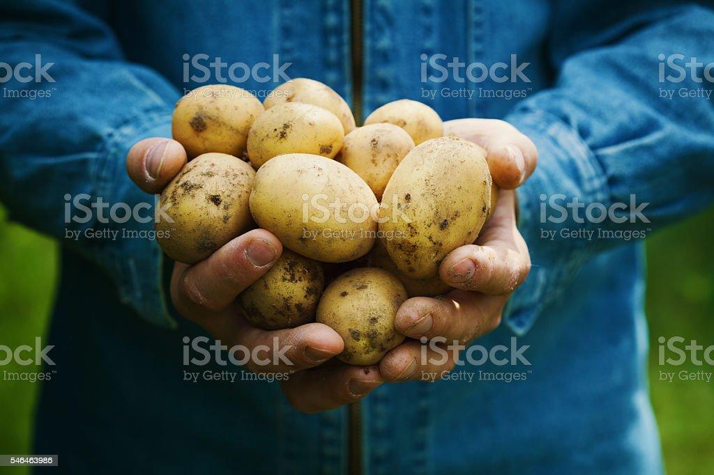 Organic potatoes or spud harvest in farmer hands in garden stock photo