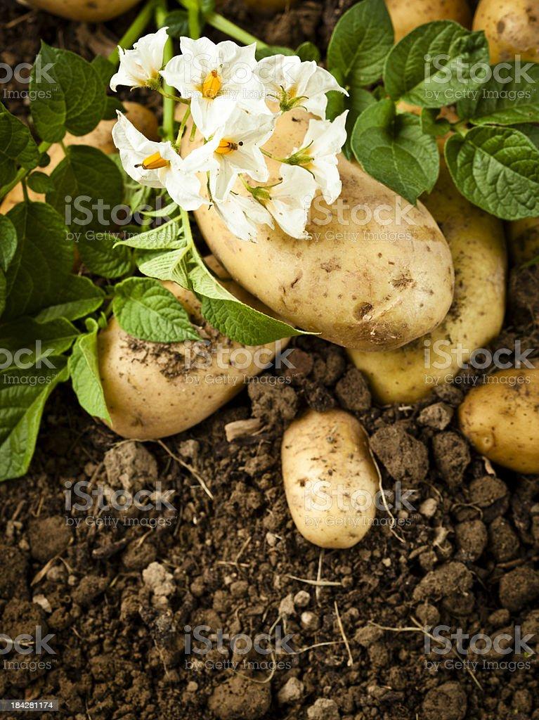 Organic Potatoes stock photo