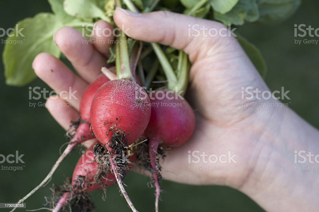 Organic Radish royalty-free stock photo