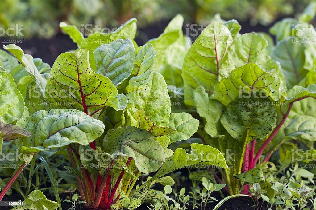 Organic Rainbow Chard stock photo