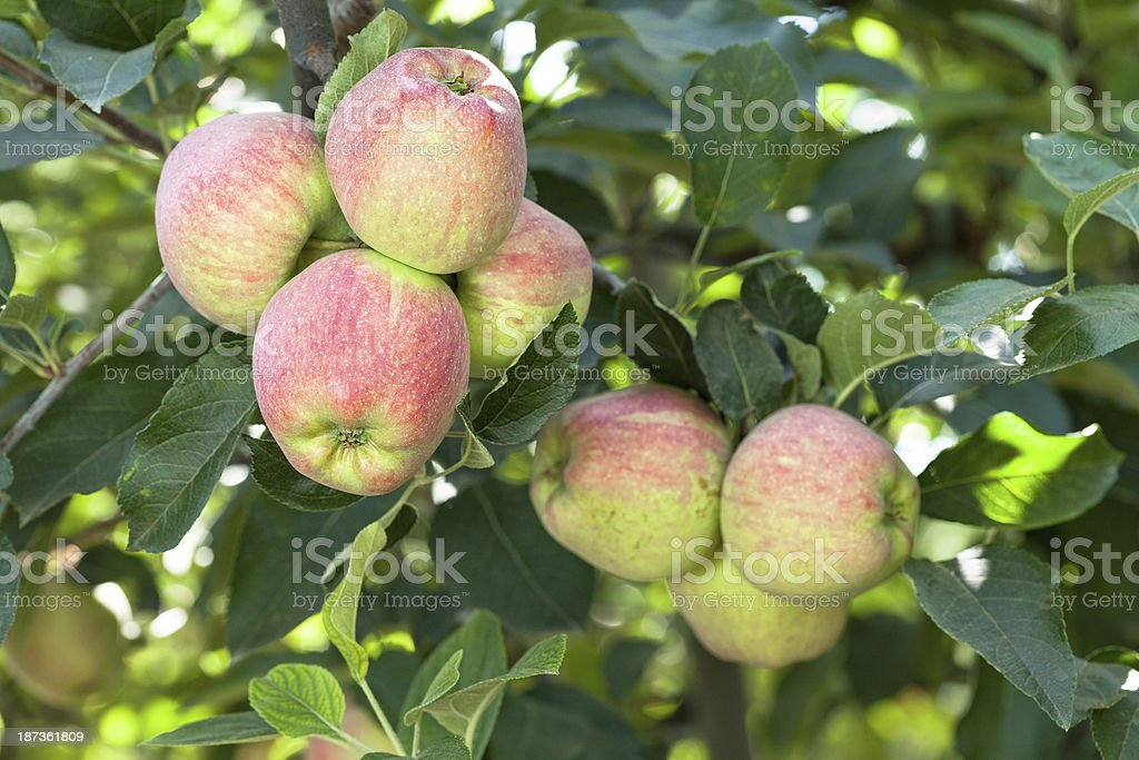Organic Red Apples on a Branch royalty-free stock photo