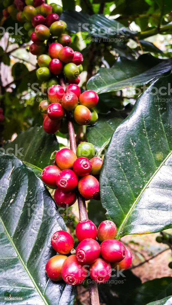 Organic red coffee cherries on tree branch in the garden,Thailand stock photo