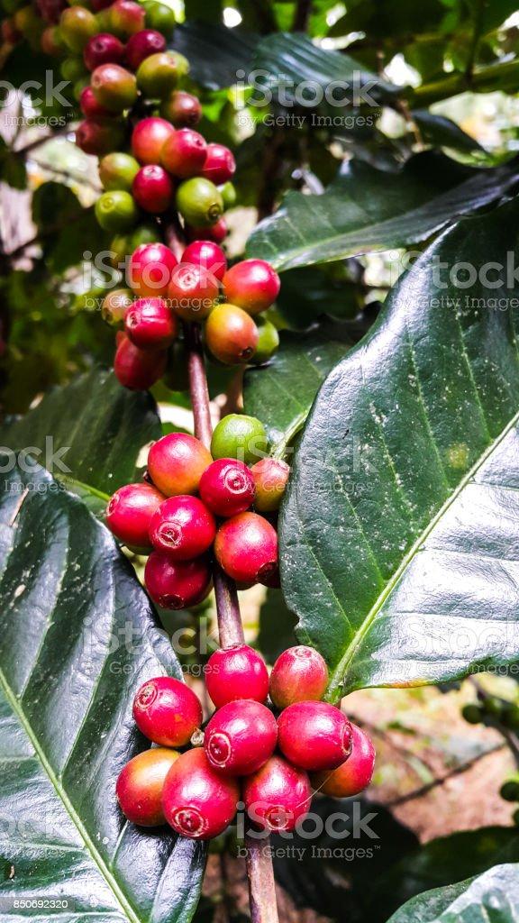 Organic red coffee cherries on tree branch stock photo