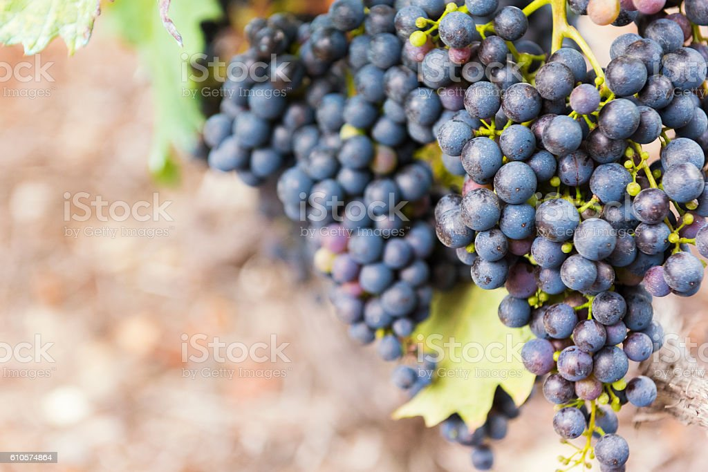 Organic Red Grapes Hanging in a Vineyard stock photo