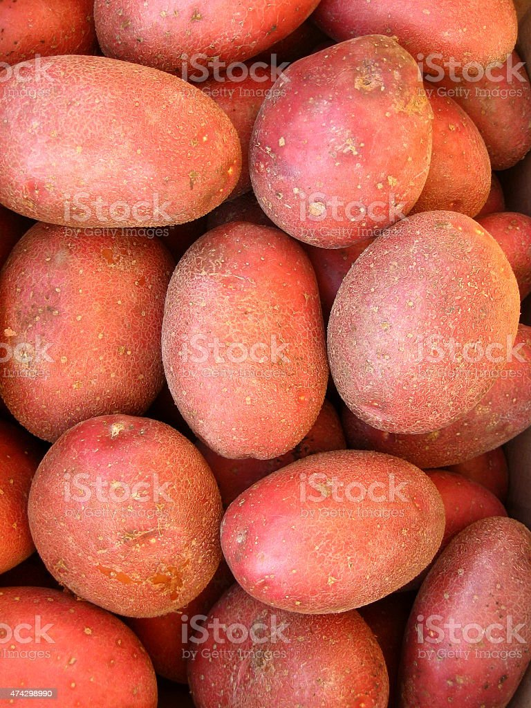 Organic red potatoes freshly harvested from a vegetable garden stock photo