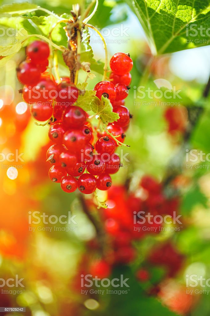 Organic Redcurrant stock photo