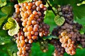 Organic Ripe Pinot Gris Grapes
