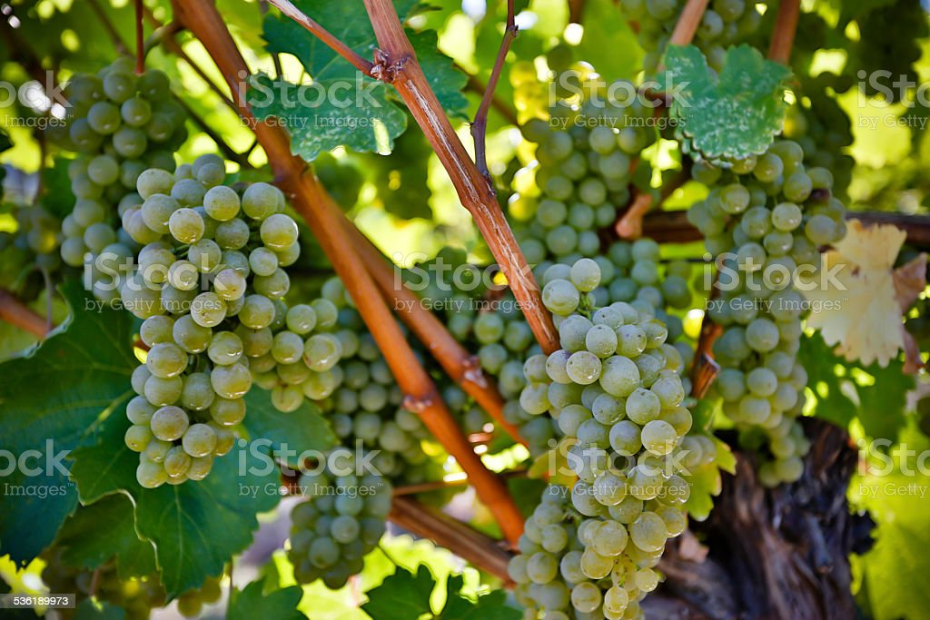 Organic Sauvignon Blanc stock photo
