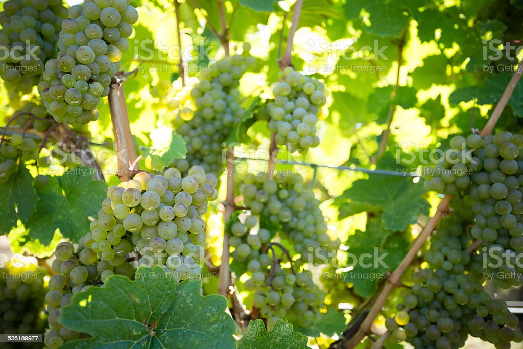 Organic Sauvignon Blanc stock photo