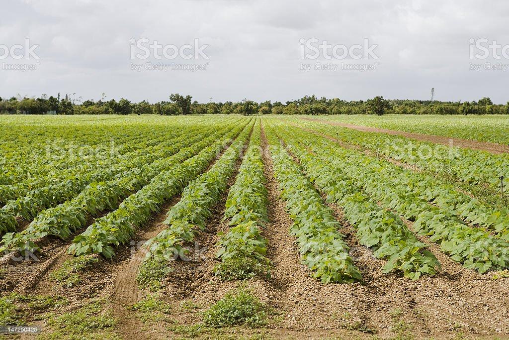 Organic Soybean field royalty-free stock photo