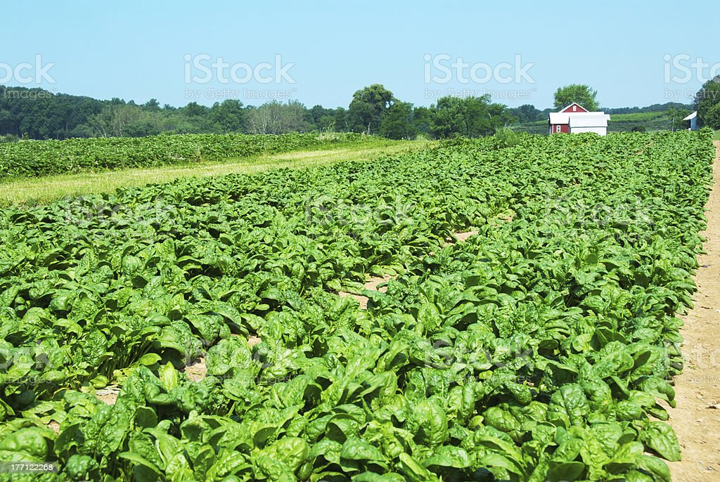 Organic spinach farm with a barn in the far background royalty-free stock photo