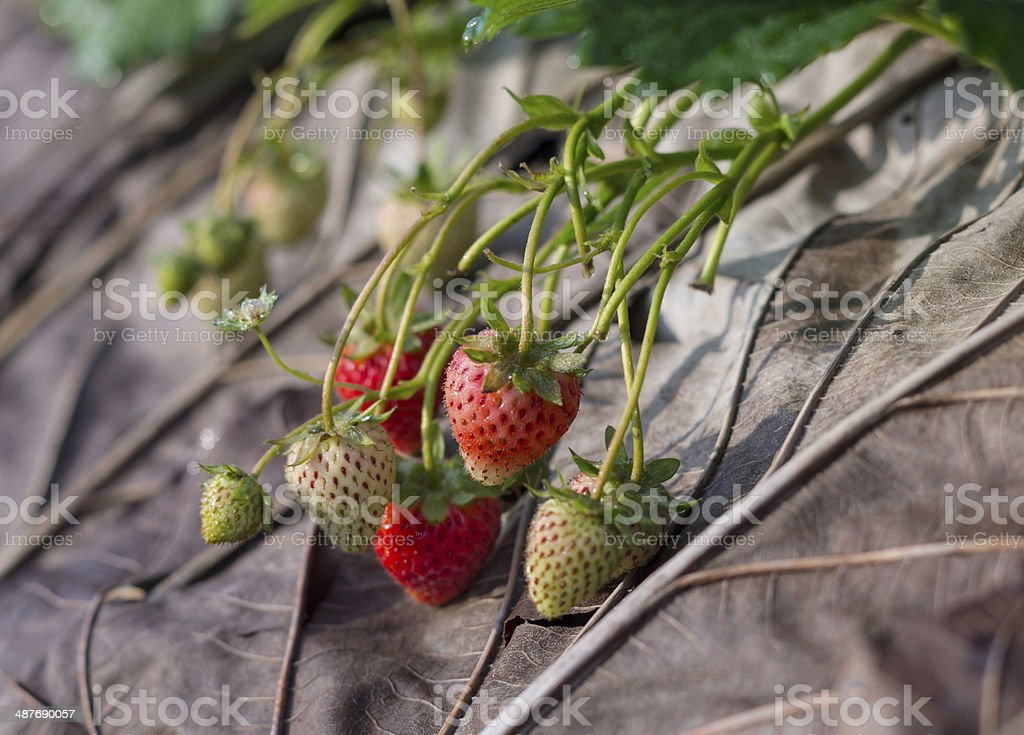 Organic strawberry fields on the morning stock photo